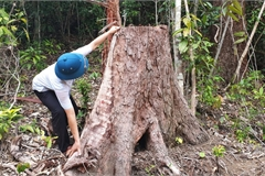 12 illegal loggers prosecuted for destroying forest in Phu Yen