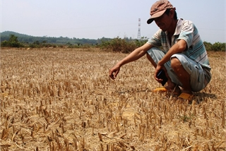 Rice fields abandoned as Binh Dinh suffers severe drought