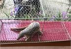 Javan pangolin and Phayre's langur rescued in Binh Dinh