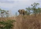 Dak Lak makes plan to rescue injured elephant