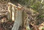 Natural Reserve in Central Highlands ruined by loggers