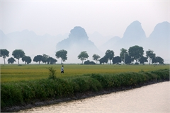 Rice harvest season starts in Hanoi