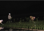 Vietnamese farmers turn to work at night to avoid heat wave