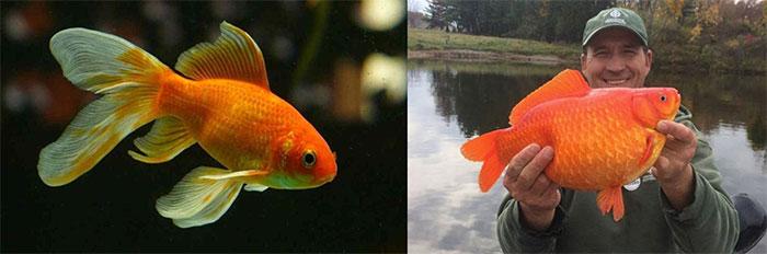 Cá vàng là loài cá sinh sản nhanh chóng.