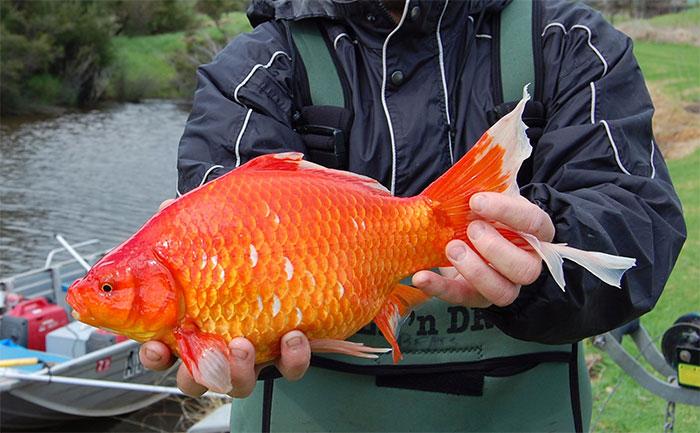 Khi đủ tài nguyên, những con cá vàng có thể phát triển to gấp 10 lần kích thước ban đầu.