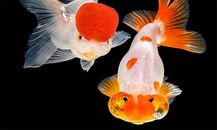 Cá vàng vẫn là loài vật nuôi lý tưởng cho bể cá trong nhà.