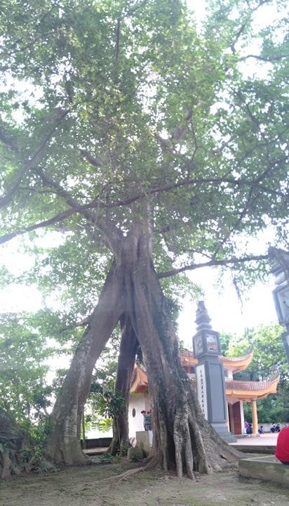 """Chuyện lạ về cây đa cổ thụ có 3 gốc """"độc"""" cạnh đền thờ vua - 1"""