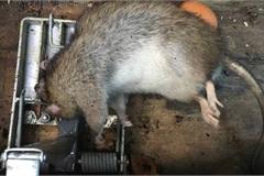 Du khách hoảng sợ trước thảm họa chuột to như mèo hoành hành