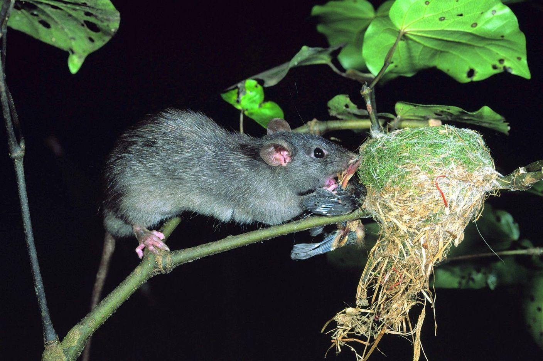 Du khách hoảng sợ trước thảm họa chuột to như mèo hoành hành - 3