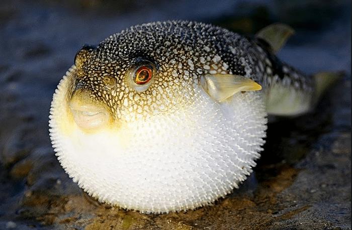 Có thể gây chết người, tại sao cá Nóc vẫn là món ăn đắt đỏ? - 1