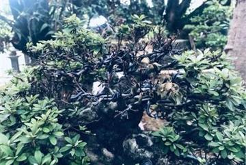 Thê thảm khu vườn nhà Trầm Bê, đại gia mất trắng chục tỷ