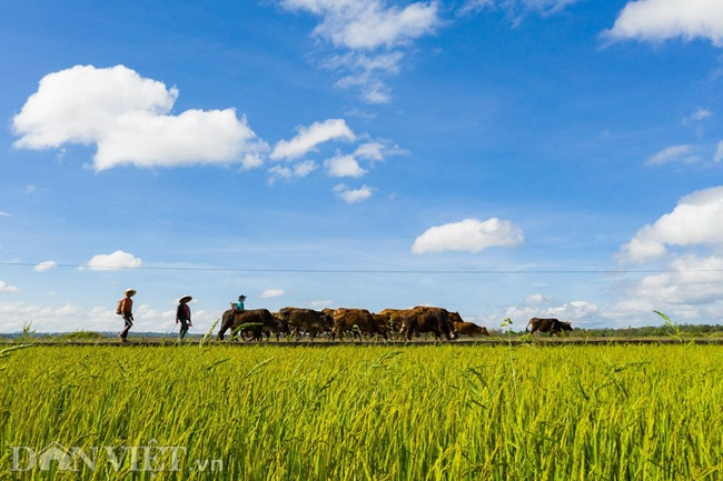 Chiêm ngưỡng cánh đồng lúa đẹp nhất nhì Tây Nguyên từ trên cao - 10