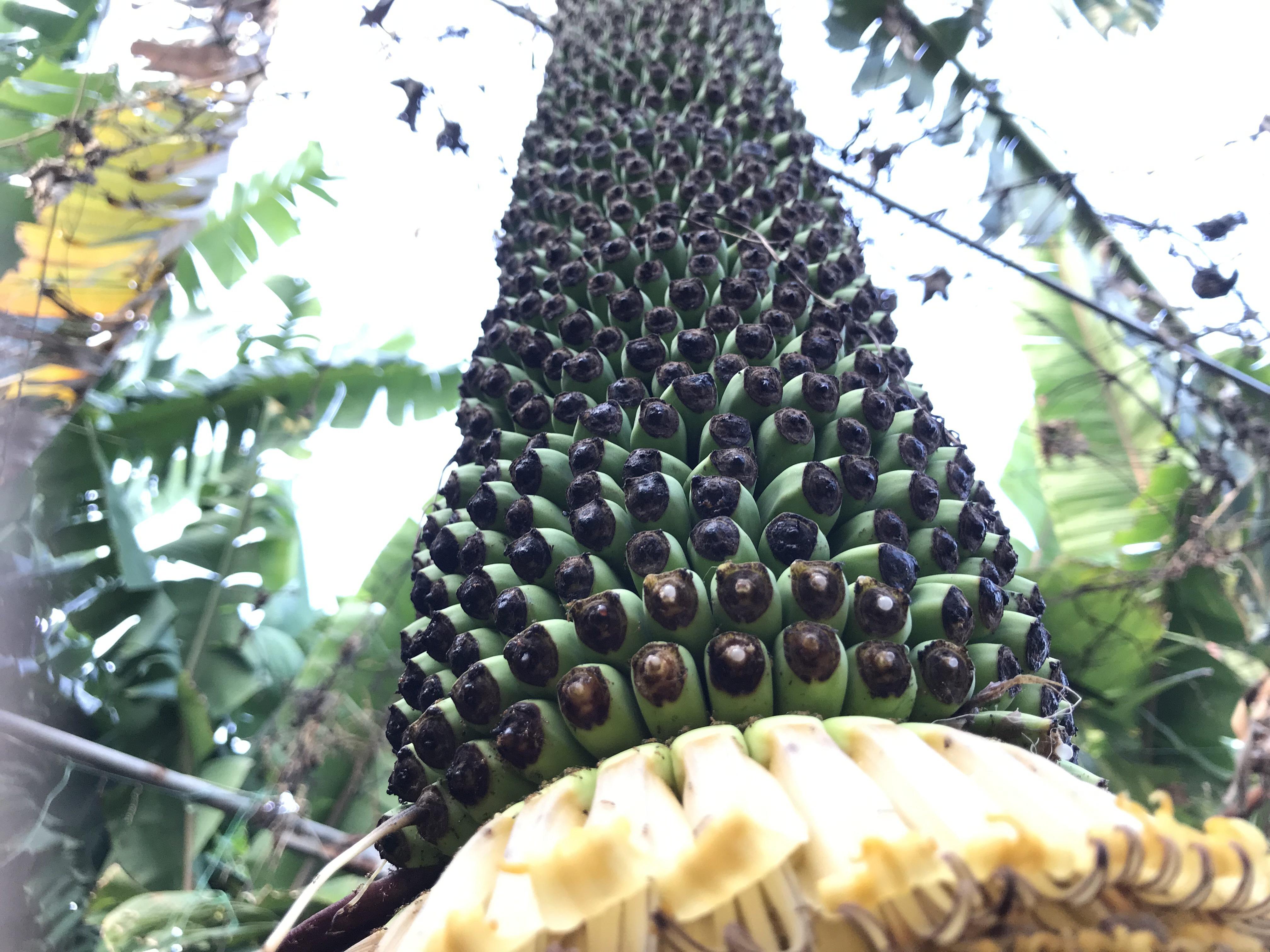 Độc đáo buồng chuối hàng trăm nải, dài 2,5 m - 7