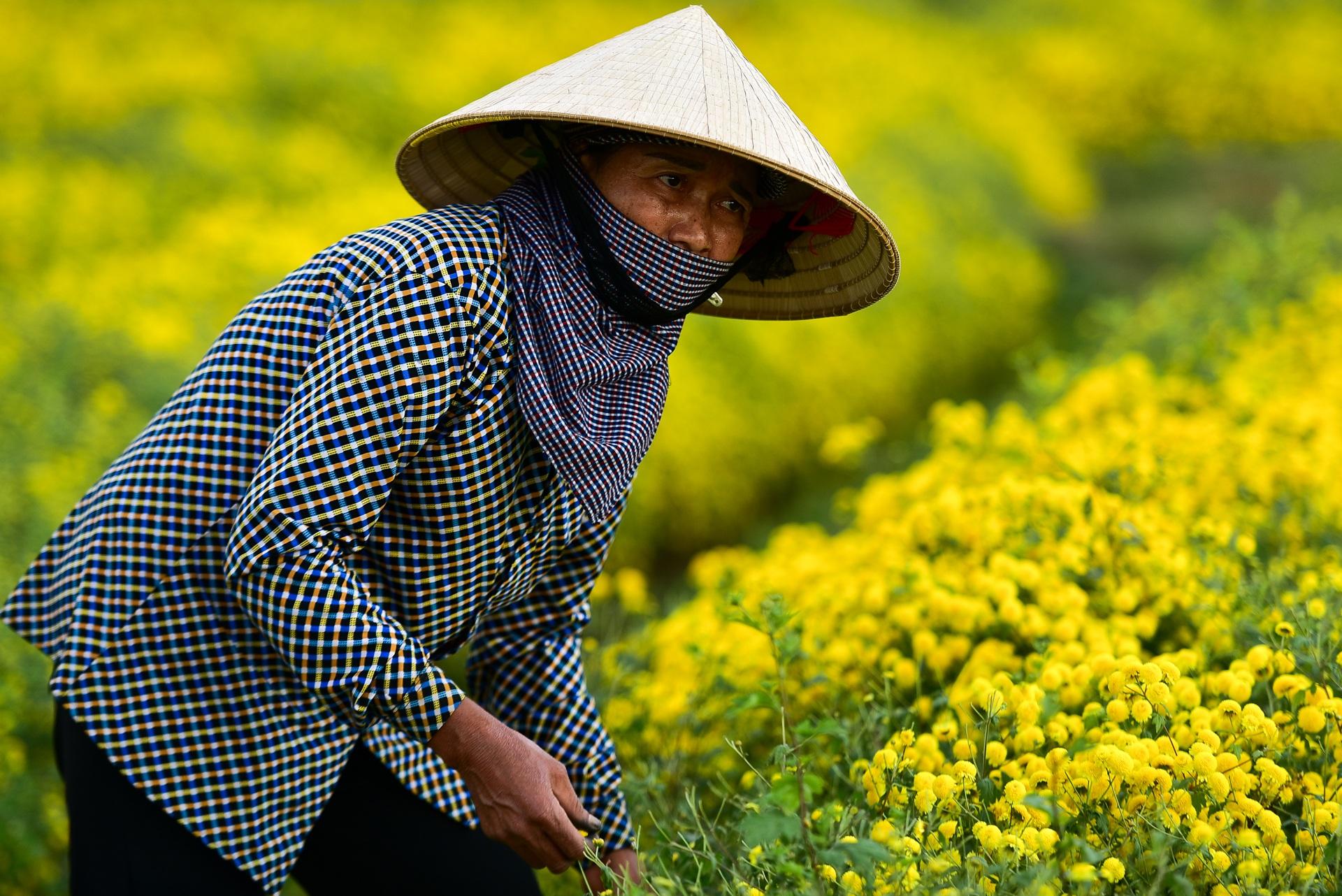 Ngắm cánh đồng cúc tiến vua vàng ruộm mộng mơ tại Nghĩa Trai, Hưng Yên - 14