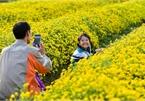 Ngắm cánh đồng hoa cúc vàng rực tại Hưng Yên