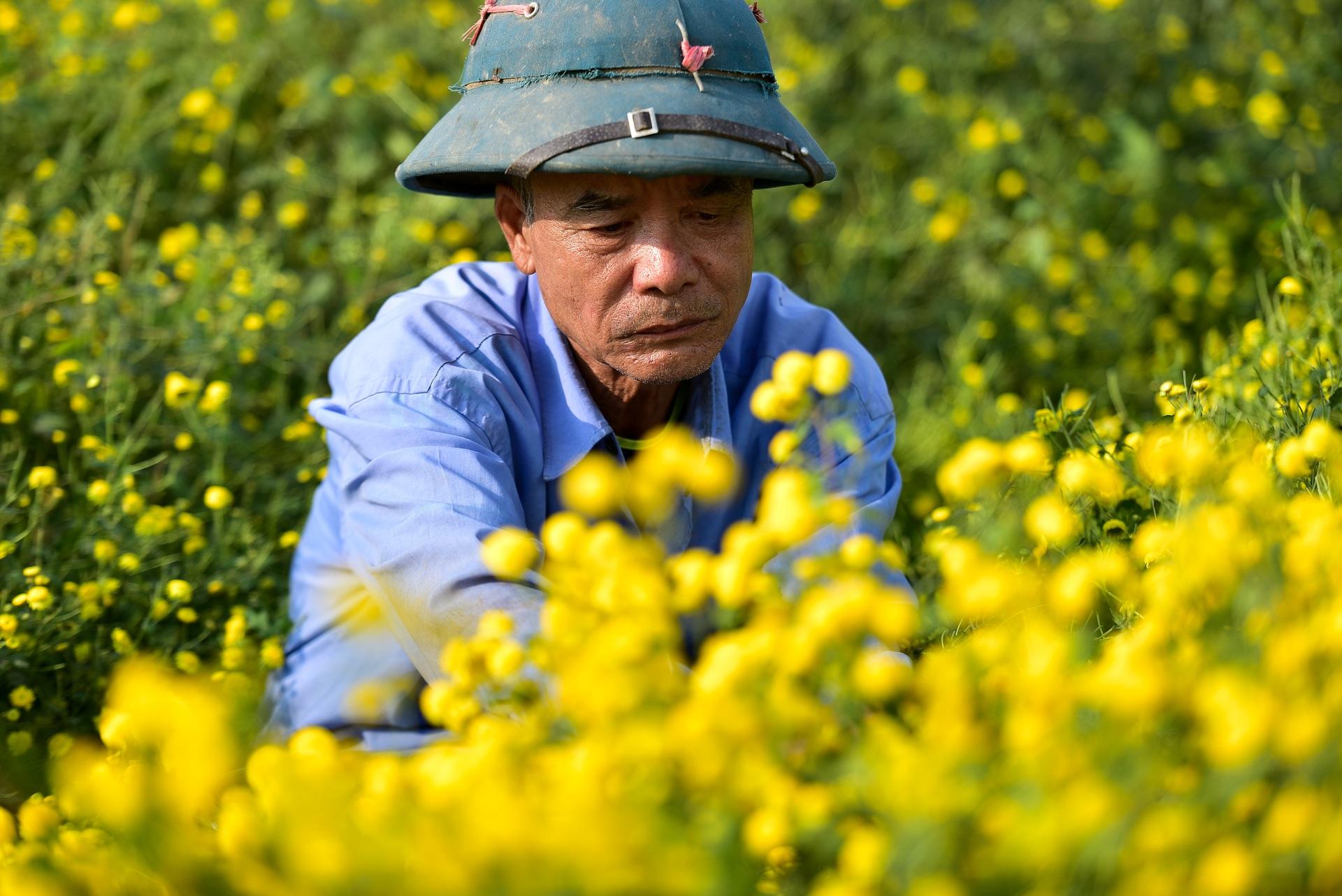 Ngắm cánh đồng cúc tiến vua vàng ruộm mộng mơ tại Nghĩa Trai, Hưng Yên - 15