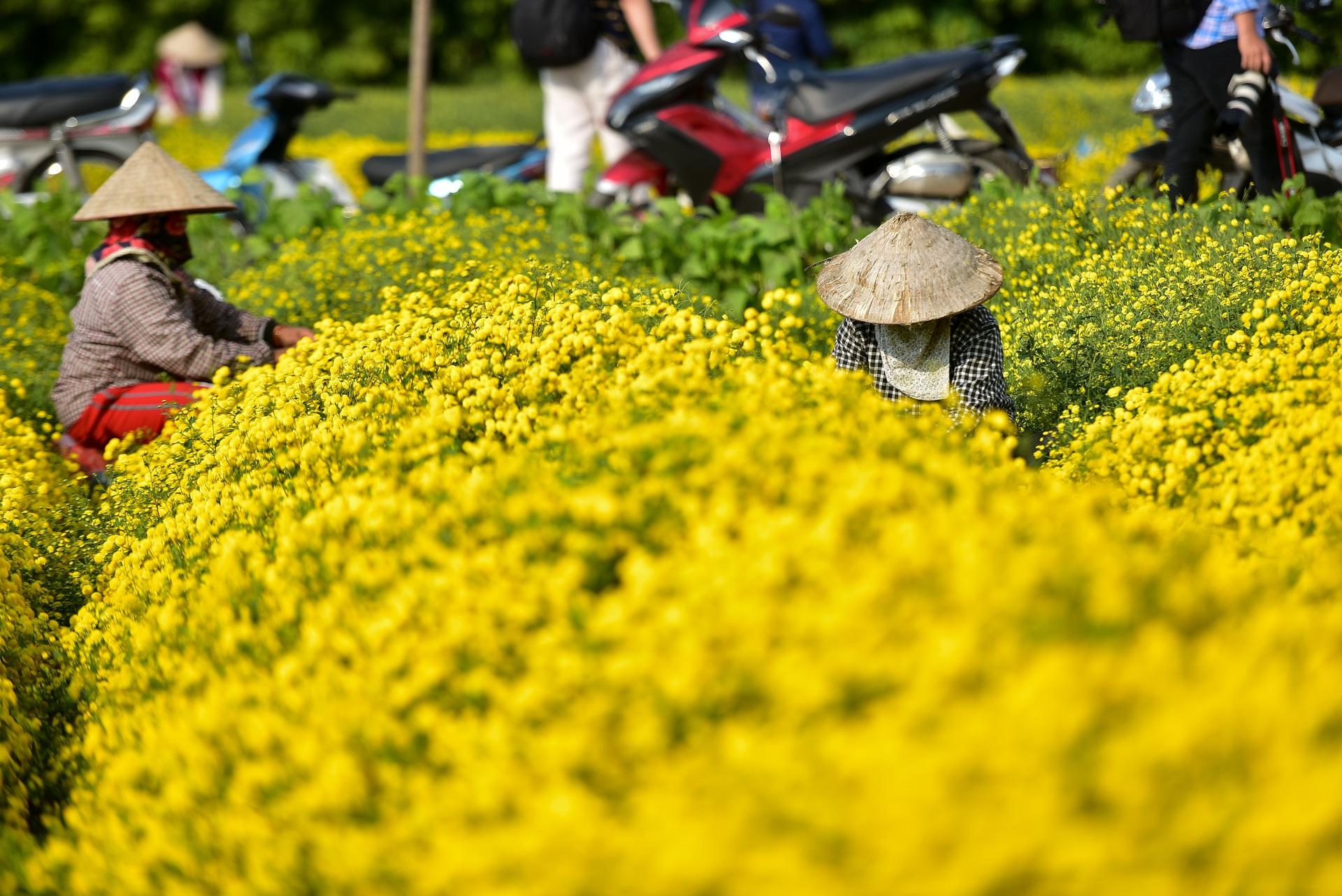 Ngắm cánh đồng cúc tiến vua vàng ruộm mộng mơ tại Nghĩa Trai, Hưng Yên - 10