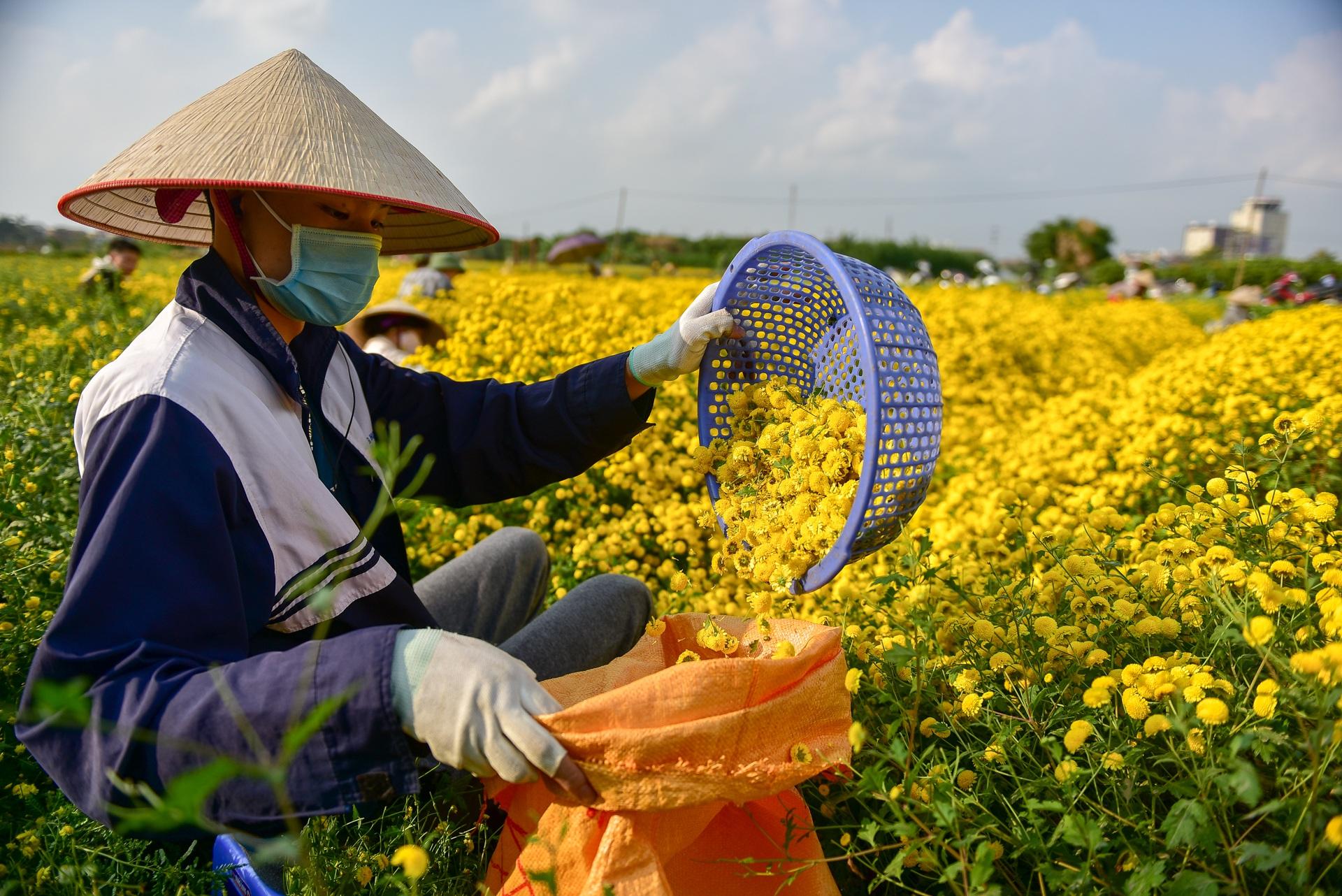 Ngắm cánh đồng cúc tiến vua vàng ruộm mộng mơ tại Nghĩa Trai, Hưng Yên - 18