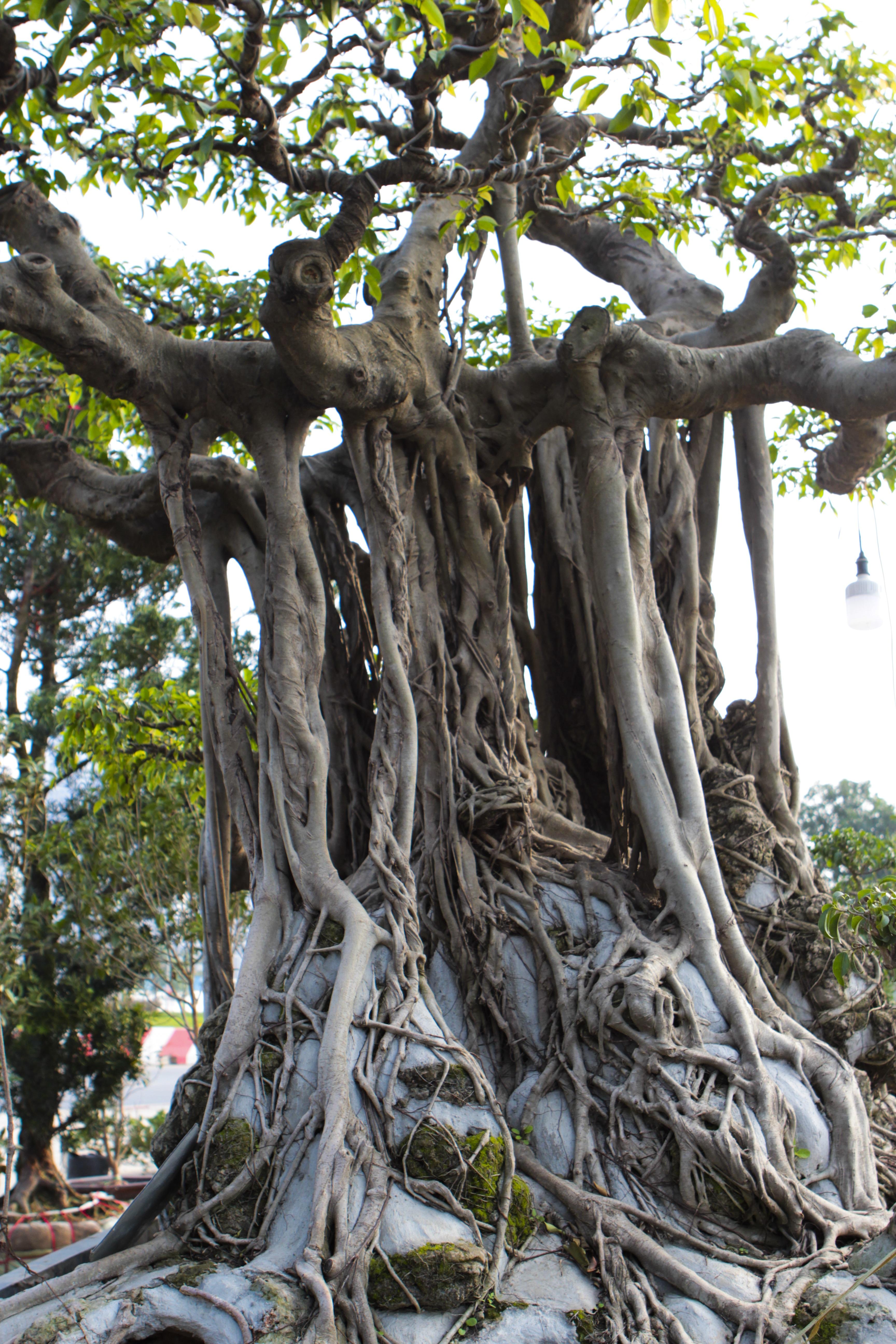 Cận cảnh cây Sanh lá móng có giá 2,5 tỷ đồng ở Hà Nội - 7