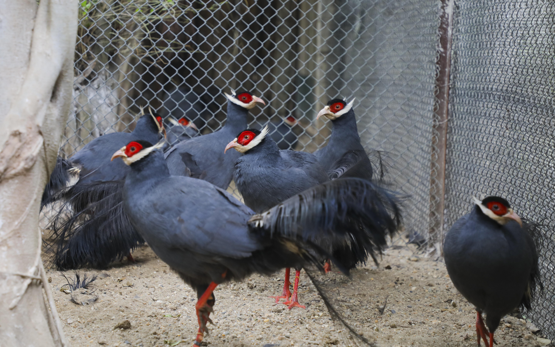 Độc lạ gà lôi tai xanh giá 15 triệu/cặp hút khách dịp tết - 2