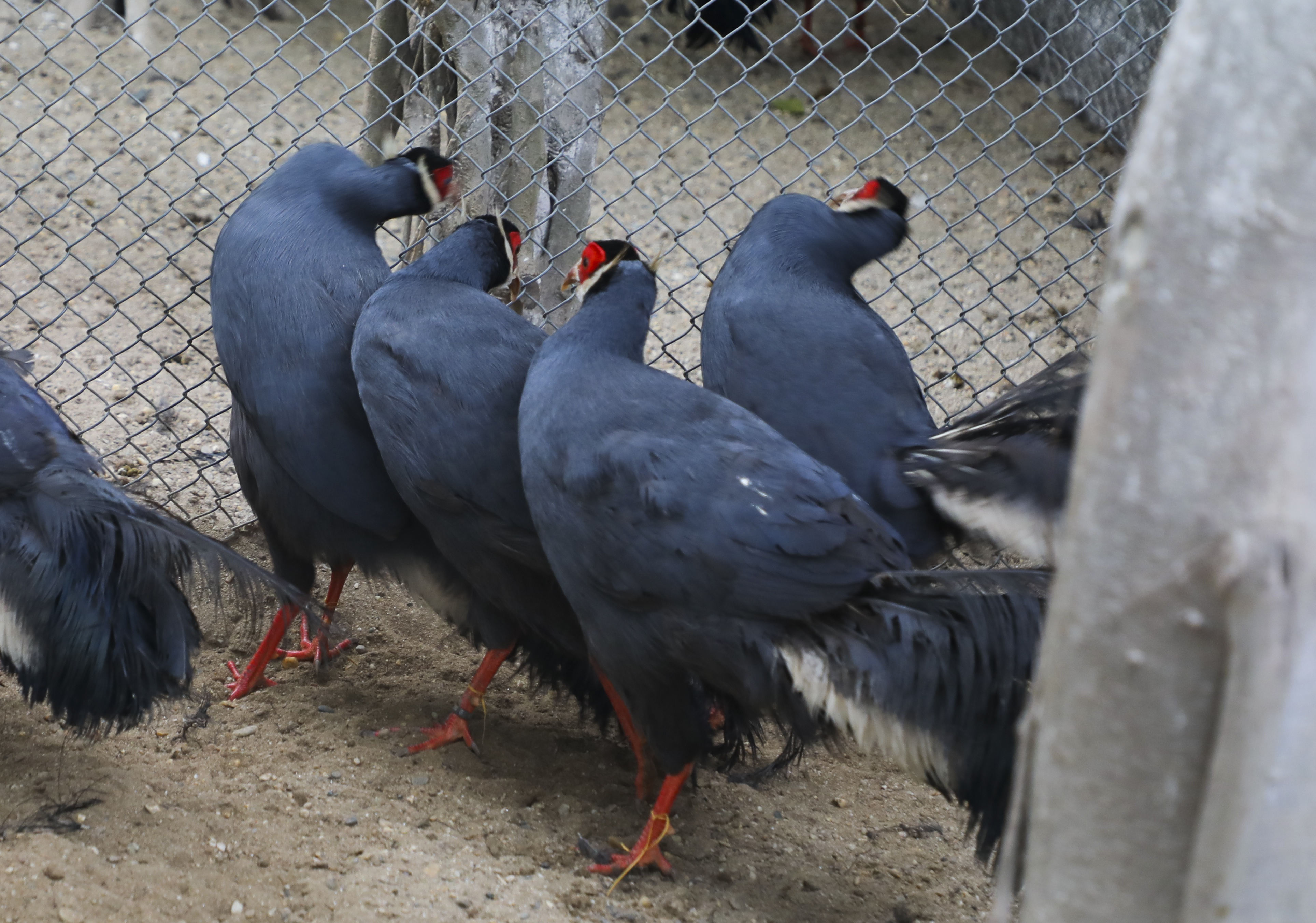 Độc lạ gà lôi tai xanh giá 15 triệu/cặp hút khách dịp tết - 7
