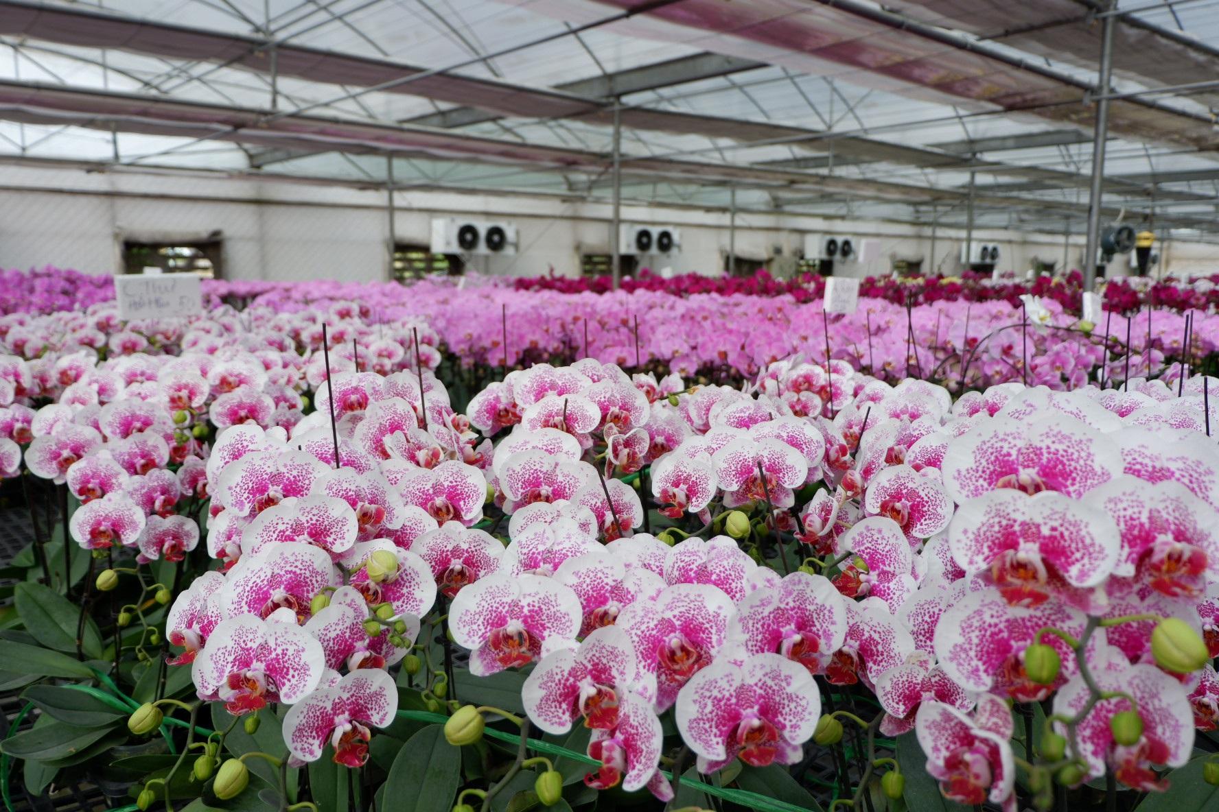 Người Việt ứng dụng 4.0 trồng lan: Hết thời hoa ngoại độc chiếm thị phần hồ điệp Tết - 6