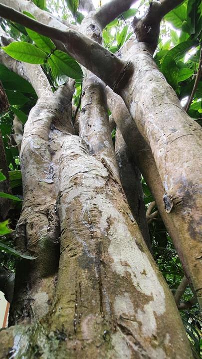 Về làng hoa Đồng Dụ ngắm cây hải đường cổ thụ hơn trăm tuổi - 2
