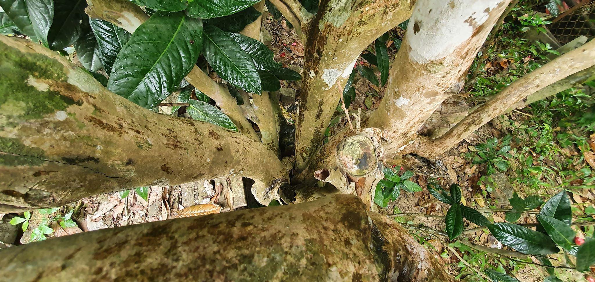 Về làng hoa Đồng Dụ ngắm cây hải đường cổ thụ hơn trăm tuổi - 3