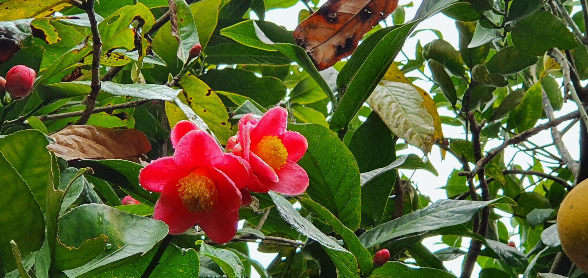 Về làng hoa Đồng Dụ ngắm cây hải đường cổ thụ hơn trăm tuổi - 7