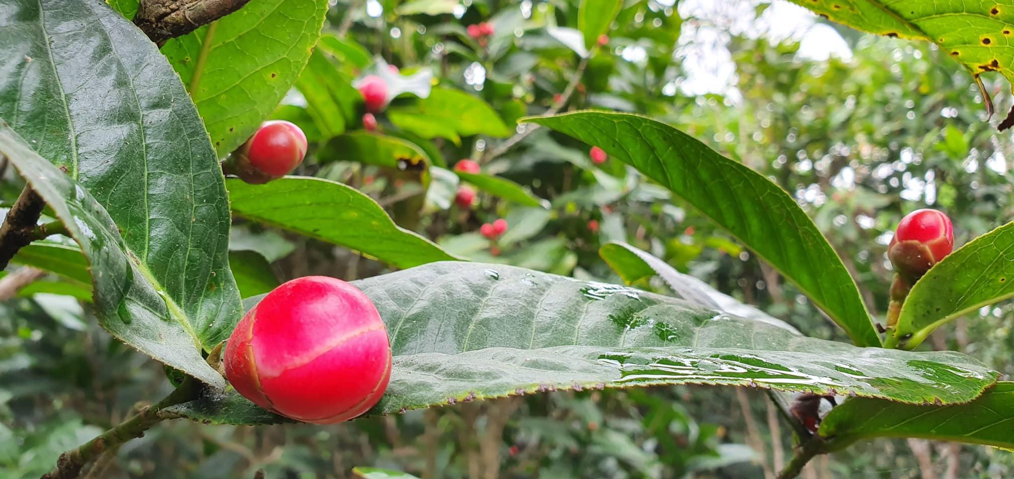 Về làng hoa Đồng Dụ ngắm cây hải đường cổ thụ hơn trăm tuổi - 5