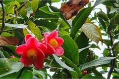 Về làng hoa Đồng Dụ ngắm cây hải đường cổ thụ hơn trăm tuổi
