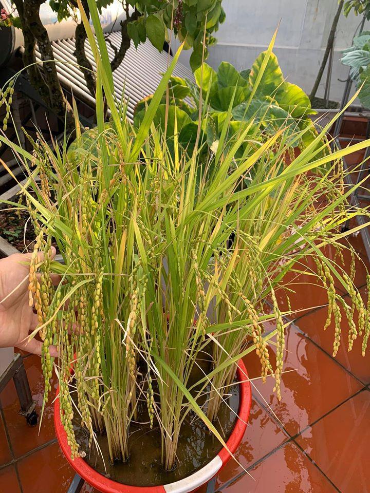 Mãn nhãn với vườn rau củ quả 4 mùa trên sân thượng 120m2 - 7