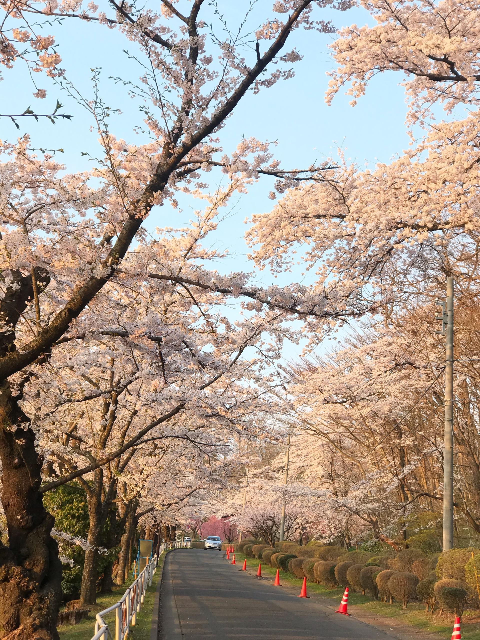 Choáng ngợp cảnh sắc hoa anh đào khoe sắc tuyệt đẹp như cổ tích ở Nhật Bản - 9