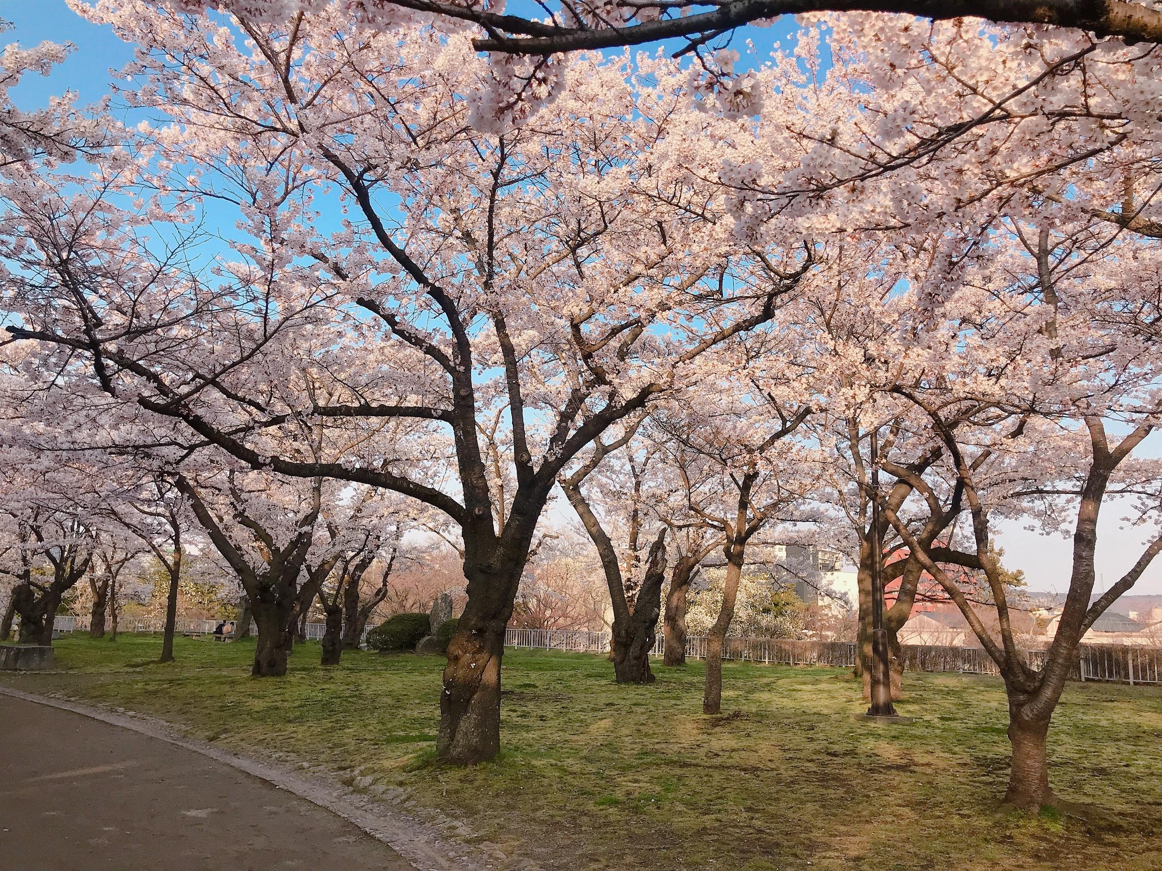 Choáng ngợp cảnh sắc hoa anh đào khoe sắc tuyệt đẹp như cổ tích ở Nhật Bản - 7
