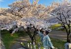 Hoa anh đào khoe sắc tuyệt đẹp như cổ tích ở Nhật Bản