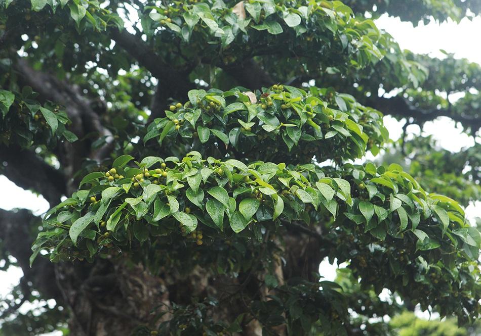 Choáng ngợp cây sanh lá móng cổ thụ giá chục tỷ ở Hà Nội - 10