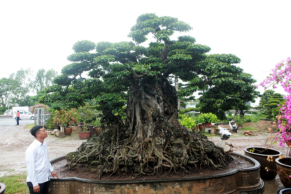 Choáng ngợp cây sanh lá móng cổ thụ giá chục tỷ ở Hà Nội - 4