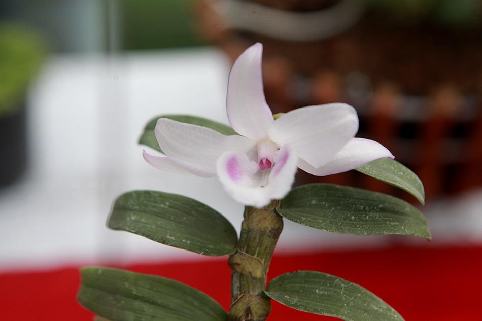 Chiêm ngưỡng những giỏ hoa lan đột biến hiếm có giá hàng trăm triệu - 10