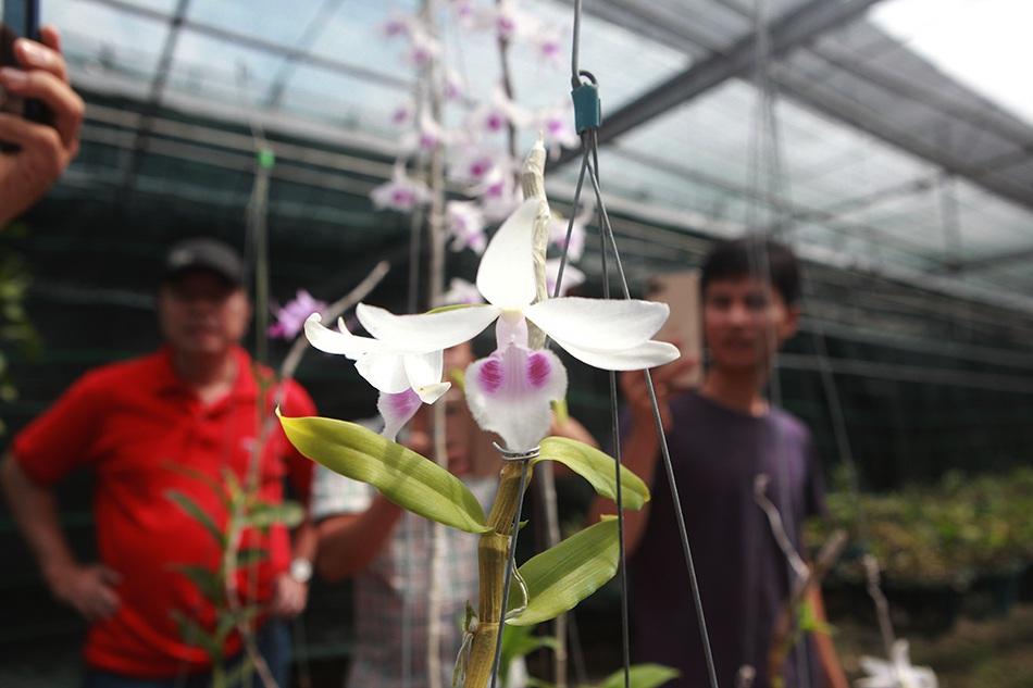 Chiêm ngưỡng những giỏ hoa lan đột biến hiếm có giá hàng trăm triệu - 9