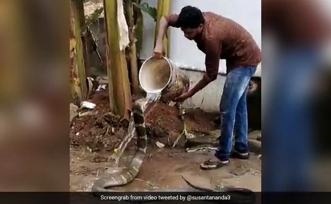 Thót tim xem người đàn ông tắm cho rắn hổ mang chúa - 1