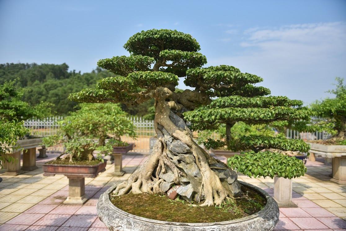 Chiêm ngưỡng nhà vườn toàn siêu cây bạc tỷ của ông vua cây cảnh - 8