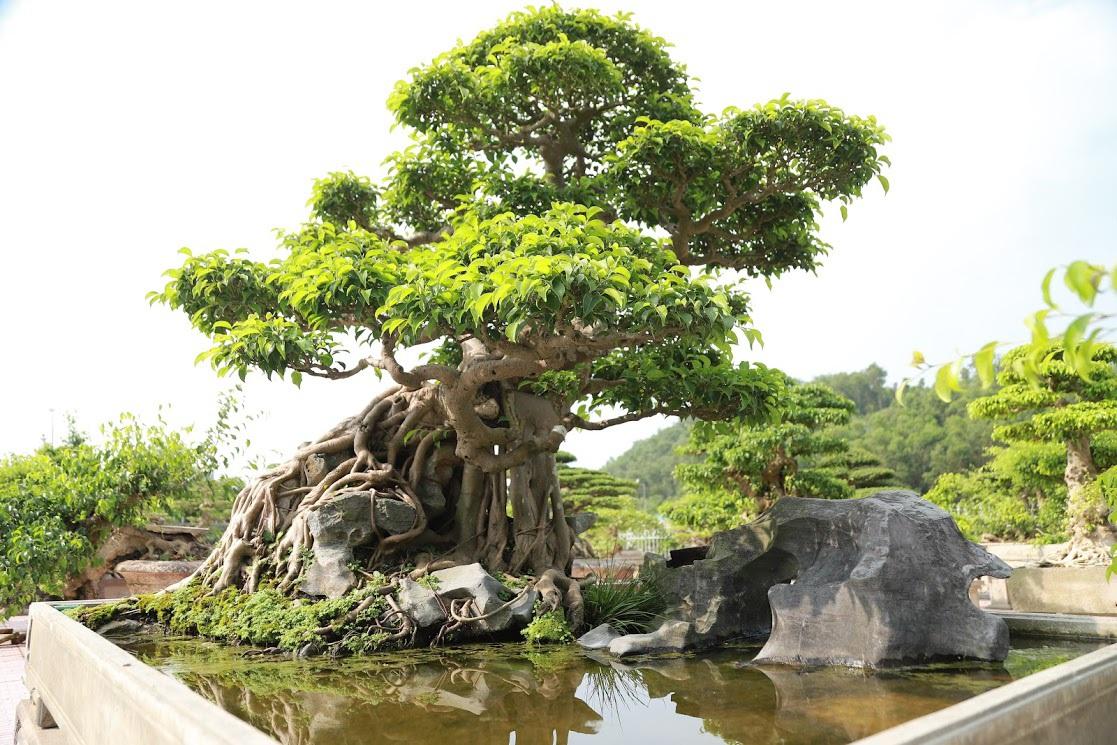 Chiêm ngưỡng nhà vườn toàn siêu cây bạc tỷ của ông vua cây cảnh - 7
