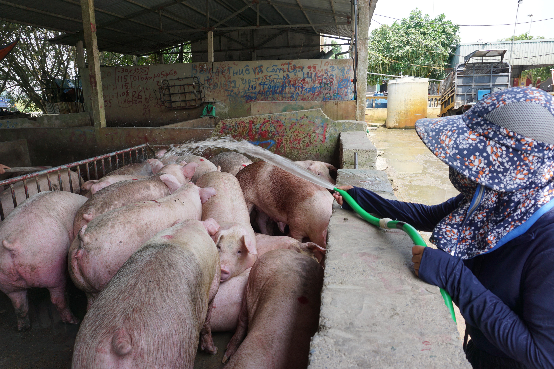 Chợ đầu mối lợn hơi ế ẩm, tiểu thương ngồi đuổi ruồi vì giá quá cao - 4