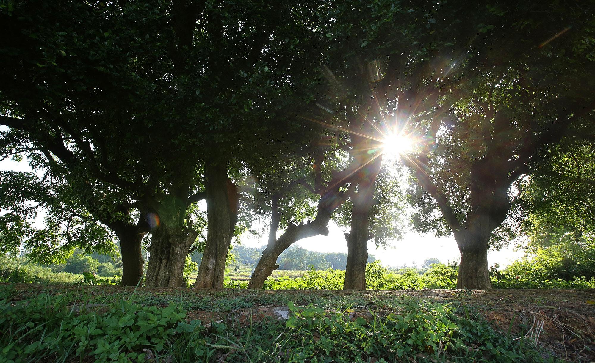 Rặng cây duối cổ hơn 1000 năm tuổi ở Hà Nội - 1