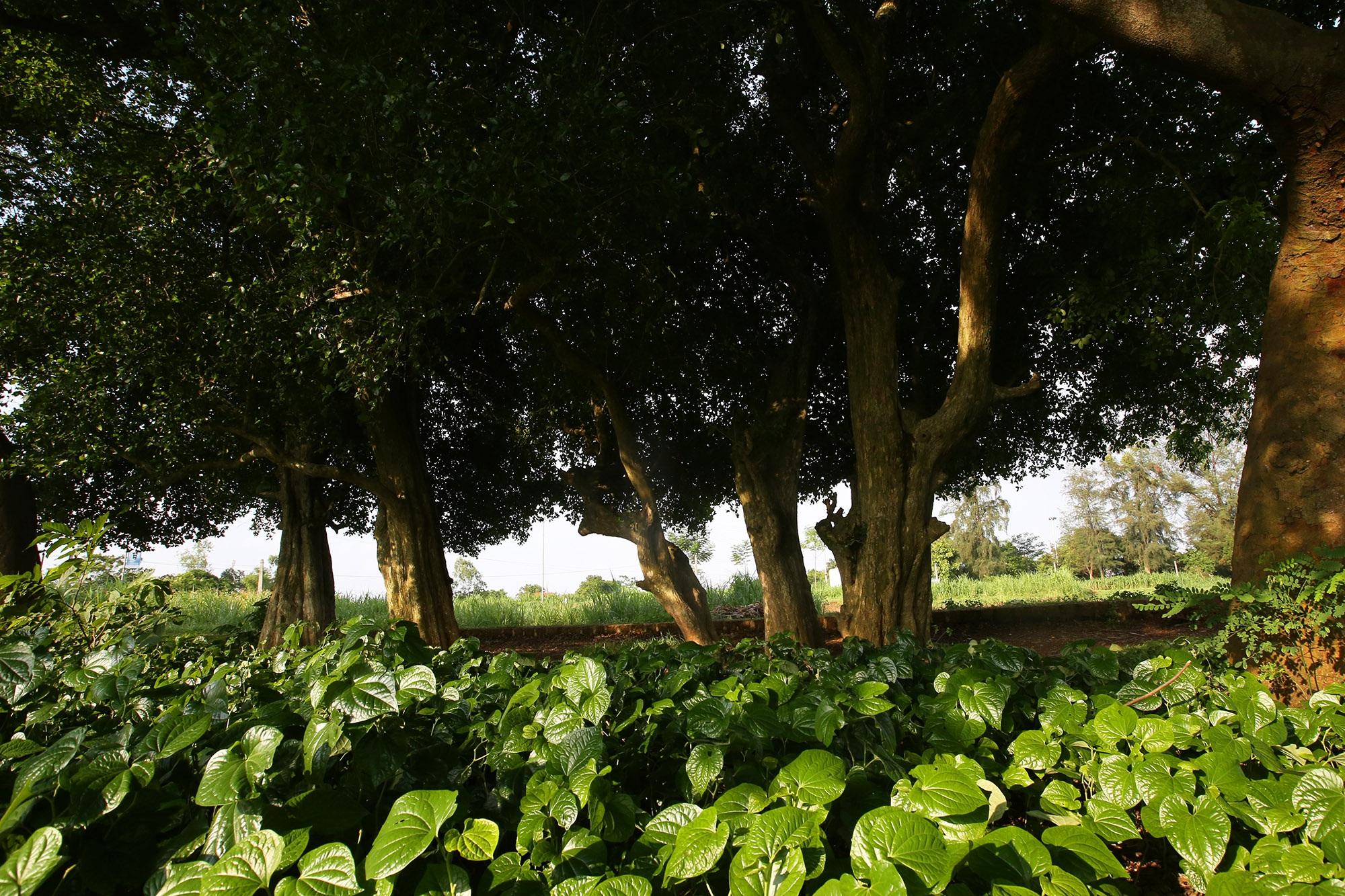 Rặng cây duối cổ hơn 1000 năm tuổi ở Hà Nội - 14