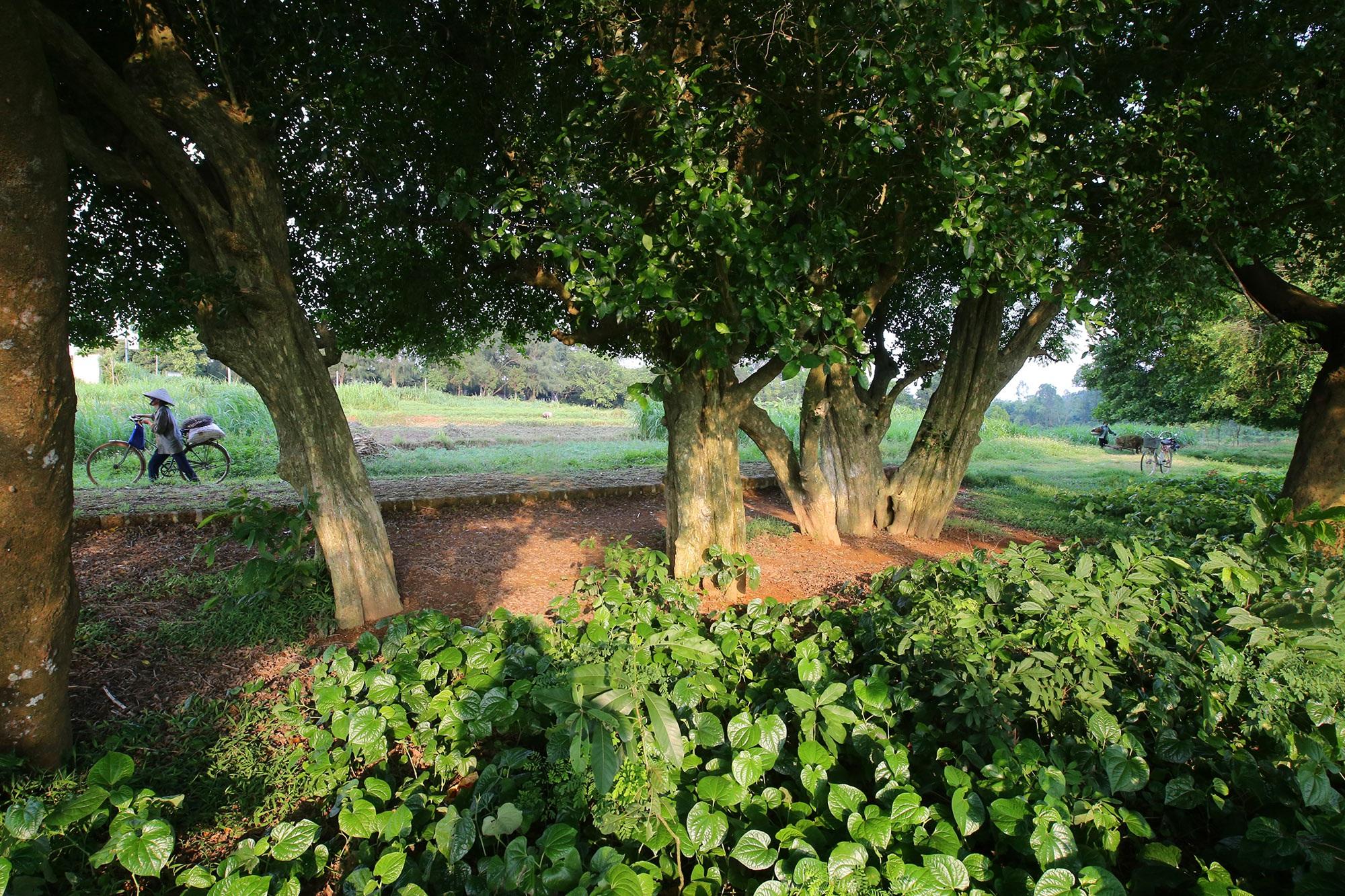 Rặng cây duối cổ hơn 1000 năm tuổi ở Hà Nội - 2