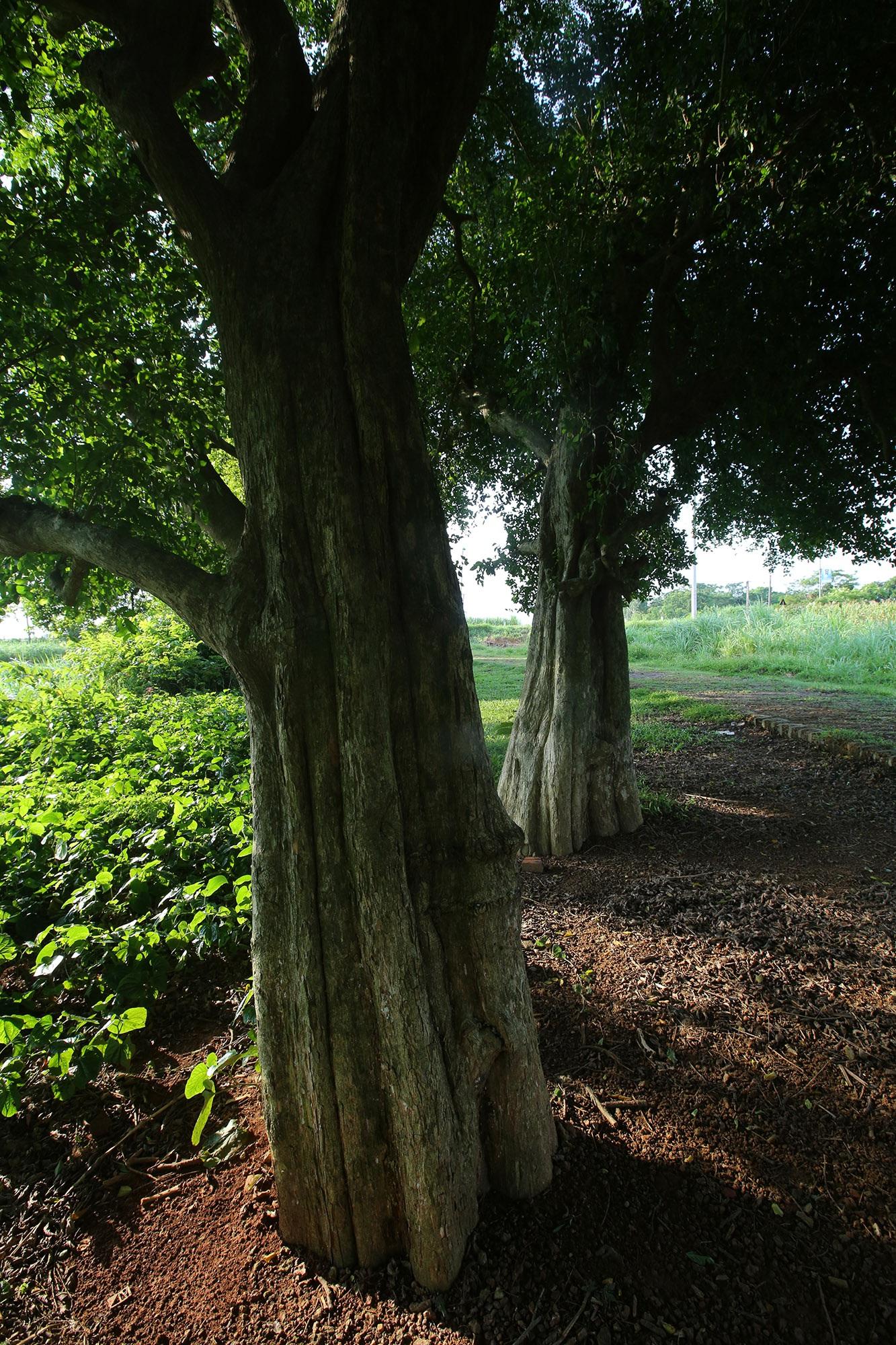 Rặng cây duối cổ hơn 1000 năm tuổi ở Hà Nội - 4