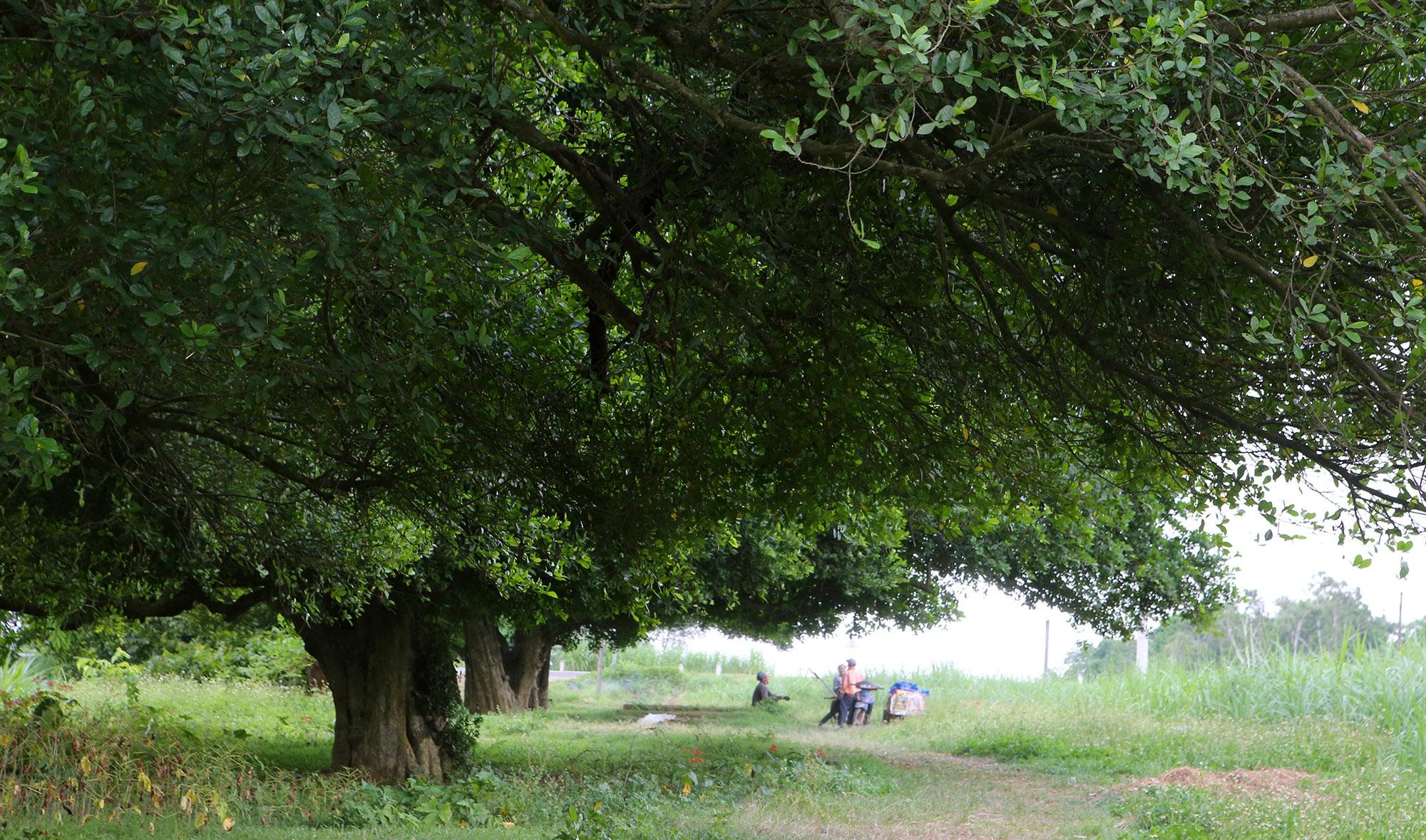 Rặng cây duối cổ hơn 1000 năm tuổi ở Hà Nội - 9