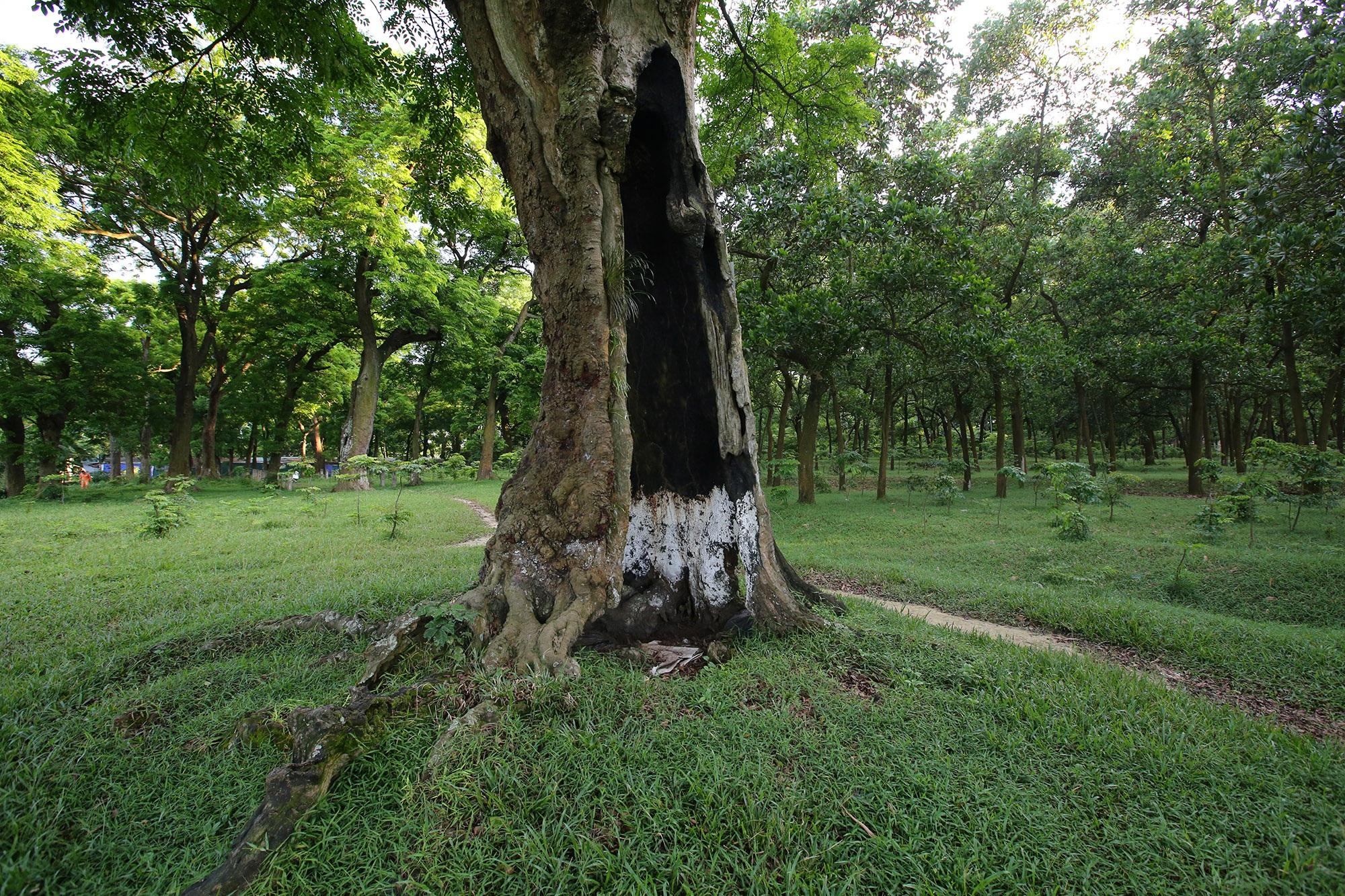 Rừng lim xanh cổ thụ hơn nghìn năm tuổi ngay tại Hà Nội - 10