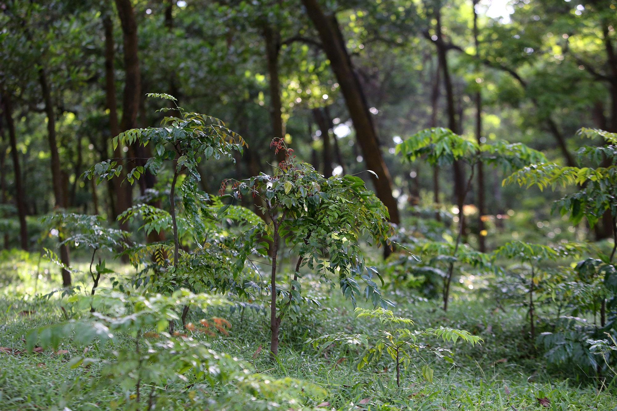 Rừng lim xanh cổ thụ hơn nghìn năm tuổi ngay tại Hà Nội - 12